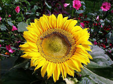 sunflower, Sunspot Dwarf, 2 Ft Tall 15 seeds! GroCo# buy Us Usa