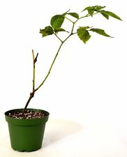 Natchez Thornless Blackberry Fruit Live Plant Best Gift Tree 4''Pot Outdoor New