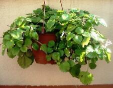 SWEDISH IVY - 1 live PLANT - Trailing VINE shade/ sun GroCo House Plants USA