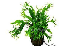 Microsorium pteropus 'windelov' - Easy Live Aquarium Plants Java Moss Fern ADA