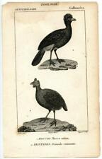1816 Turpin Curassow Guineafowl Copper Engraving Antique Zoology Print