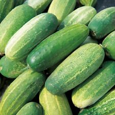 Vegetable - Cucumber - Gherkin - 50 Seeds