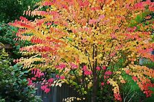 Cercidiphyllum japonicum / Katsura Tree, stunning plant, pot grown peat free 3ft