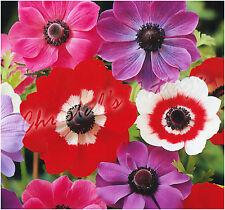 40 Bulbes Anémone de Caen Mélange Couleur Beau Printemps Fleur Automne Printemps