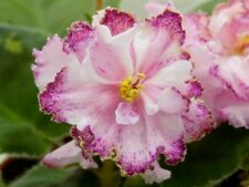 ☘ LE-KIRA ☘ African Violet Plant Saintpaulia ☘ Starter Plug Ukrainian ☘ NEW 2016