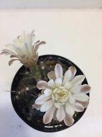 Gymnocalycium mihanovichii fredrichii cactus succulent live plant 13-110x