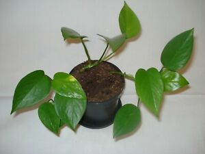 Devils Ivy Golden Pothos Epipremnum Aureum trailing climbing plant 25cm