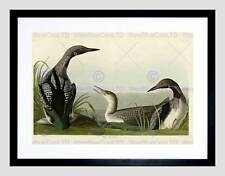 BIRDS AMERICA AUDUBON BLACK THROAT DIVER BLACK FRAMED ART PRINT PICTURE B12X3815