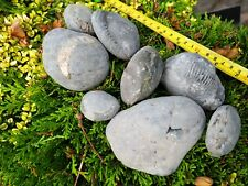 More details for whitby ammonite nodules fossil x8