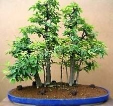 ZELKOVA SERRATA apto bonsai  30 semillas seeds