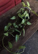 1-Leaf Cutting of genuine (!) epipremnum Cebu blue, HEATPACK available