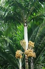 "Veitchia spiralis 1 Gal / 6"" Pot Palm Tree Live Rare Tropical !"