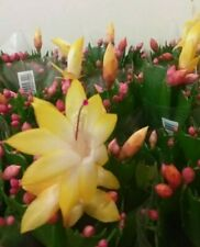"Yellow Christmas Cactus "" Schlumbergera Truncata. Thanksgiving. 1 x cutting"