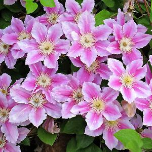 Clematis Piilu | Deciduous Dense Hardy Large Flowering Garden Shrub in Pot