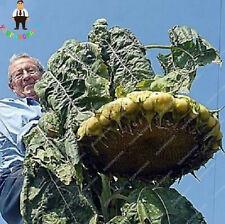 Sunflower Super Giant Seeds Plants Flower Bonsai Ornamental Potted 20pcs