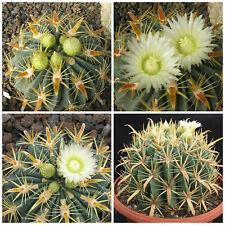 50 graines de Ferocactus latispinus var. flavispinus, grasses, cactus seeds , F