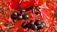 Black Chokeberry, (ARONIA melanocarpa - Photinia melanocarpa) 100 seeds