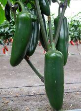 Jedi (F1) Hybrid Giant Jalapeno Pepper Seeds