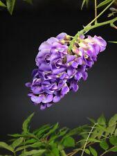 Wisteria floribunda, Jap. Blauregen, 3 Jahre Bonsai Jungpflanze, Rarität, Selten