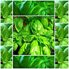 Basil Large Sweet Italian * 250 seeds *herb seed edible not for WA or TAS