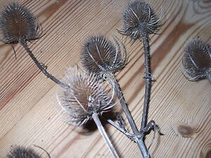 TEASEL HEADS WITH STEM  for  Decorations Art Craft Floristry. Wreath, Christmas