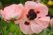 250 Seeds Pepperbox Poppy Multiple Colors Multi use plant