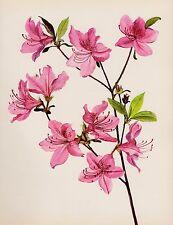 Vintage AZALEA Botanical Print Cottage Decor Flower Gallery Wall Art Shrub #1904