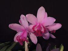 New listing E 2Lead Fragrant Cattleya intermedia orlata Laelia Orchid Species