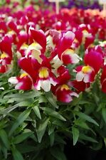 Snapdragon Seeds Snapdragon Snappy Burgundy And White 50 Seeds