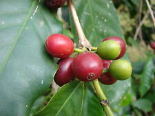 8 graines de Caféier d' Arabie à semer (Coffea Arabica) CAFE A155 COFFEE SEEDS