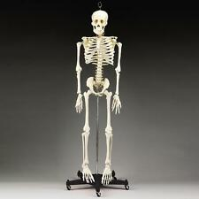 Human Skeleton, 3/4 life-size, Educactional/Halloween