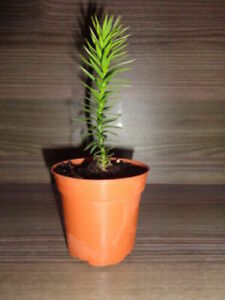 Araucaria araucana - Monkey Puzzle Tree Seedling - 10cm