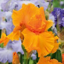 "1 Tall Bearded Iris ""Orange Harvest""-Fragrant and Reblooming -Lg. Rhiz., size #1"