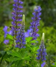 Plant Now! 100 Native Lupine Seeds, Spreads every year.🔥 CabinFeverTraders