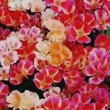 GODETIA - Dwarf Mix - 50 seeds