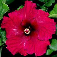 20 Dark Red Hibiscus Seeds Tropical Flower Flowers Perennial Seed 2-520 US SELLE
