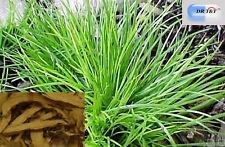 Dr T&t Grassleaf sweelflag rizoma Shi Chang PU 100g hierba seca