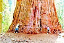 20 GIANT ( COAST ) REDWOOD SEEDS - Sequoia sempervirens
