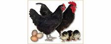 Black Australorp Chicks - Superior Egg Production