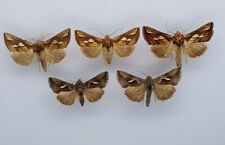 Noctuidae mix -   from Poland