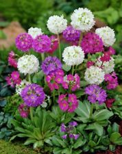 25+ PRIMULA RONSDORF HEIRLOOM FLOWER SEEDS PRIMROSE PERENNIAL SHADE HOUSE PLANT