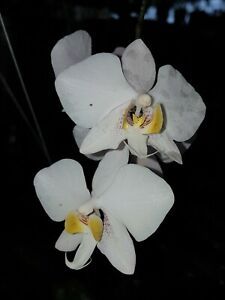 Phalaenopsis philippinensis``Jung Pflanze´´