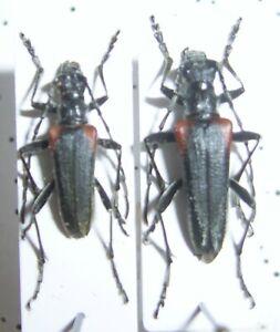 Cerambycidae: Stenocorus quercus