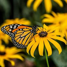 200 Non GMO Black Eyed Susan Seeds, Butterflies, Bees, Yellow Flowers