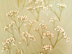 Pressed Gypsophilia / Baby's Breath flowers and stems