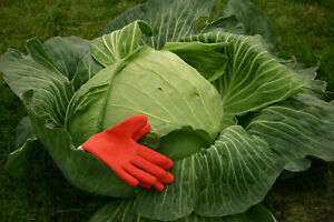 GIANT CABBAGE - GIANT CABBAGE, 50 seeds + FREE GIFT