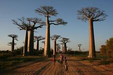 BAOBAB, ADANSONIA GRANDIDIERI 1000 Years TRE, Rare Madagascar Tree Large 5 Seeds
