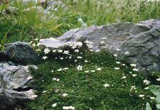 Arenaria Balearica -9cm Pot- Hardy Perennial Evergreen Groundcover Apine Plant