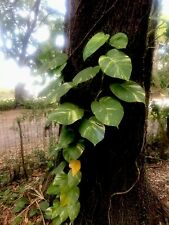 3 Golden Pothos Cuttings *ROOTED* Indoor Plant