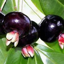 GRUMICHAMA syzygium brasiliensis fruit plant in 140mm pot